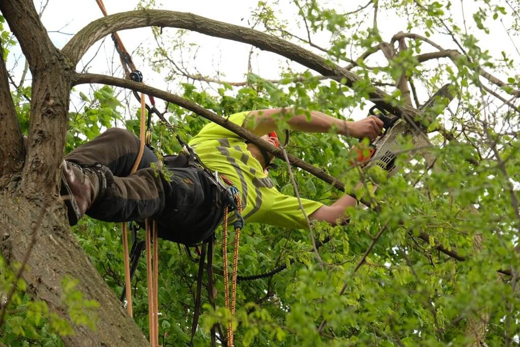 tree surgeon hanging on rig in a large tree