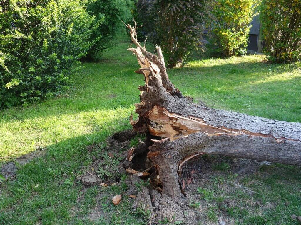toppled over broken tree roots exposed