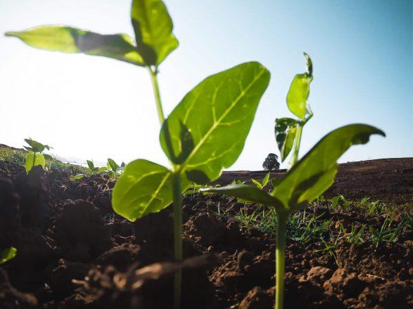 small seedlings growing in farmers field Letterkenny
